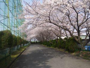 桜のトンネルみたいで綺麗でした(´ω`)